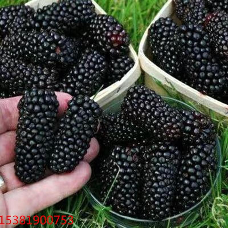 黑珍珠 桑葚 黑珍珠苗 黑珍珠批发 黑珍珠苗圃
