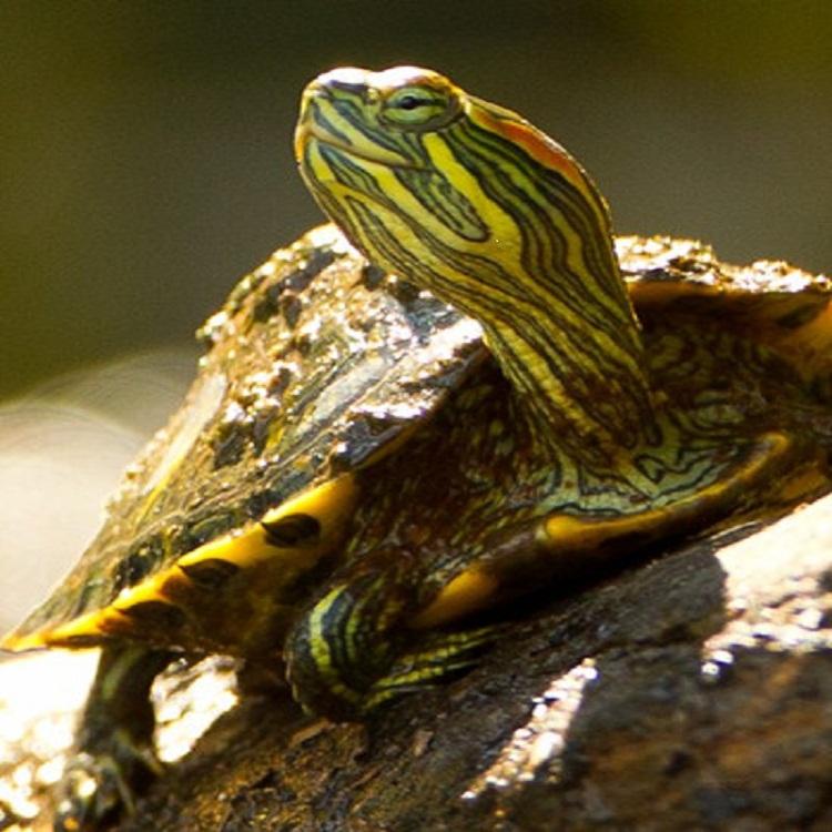 【绿利】巴西龟   巴西红耳龟  乌龟 无公害生态养殖