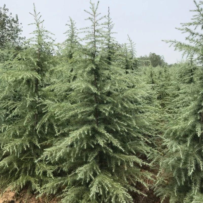 雪松供应 八零后 南京雪松苗 优质树苗 存活率高