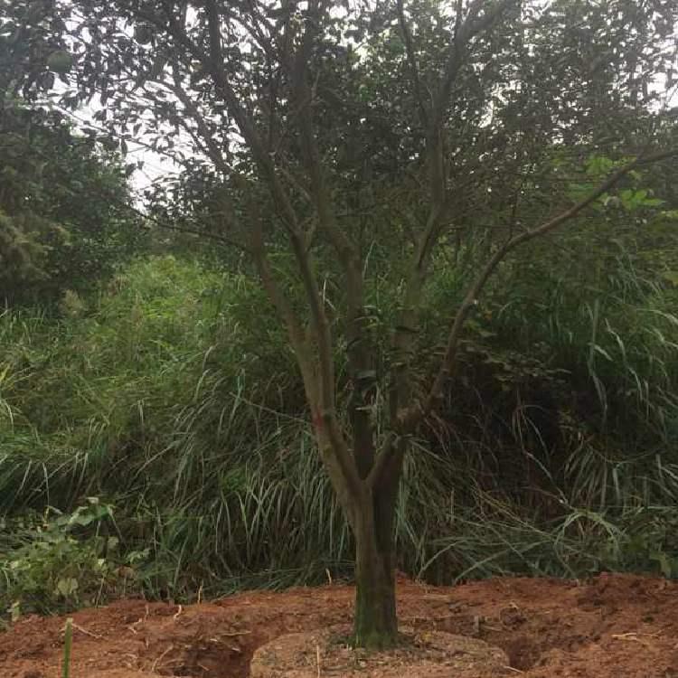 16公分榉树 榉树价格 红榉 红榉价格 榉树苗圃 乾坤苗圃
