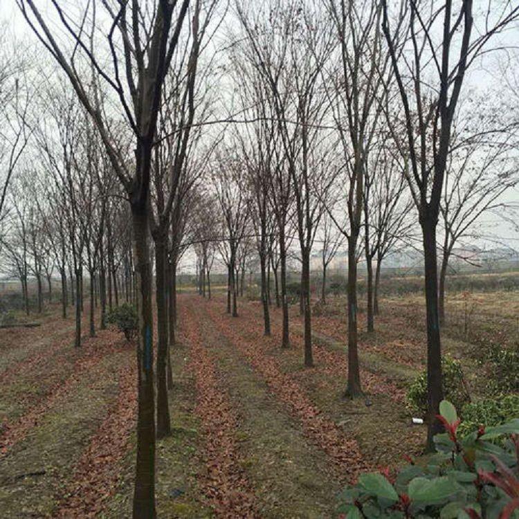 18公分 榉树 榉树价格 红榉 红榉价格 榉树苗圃 乾坤苗圃