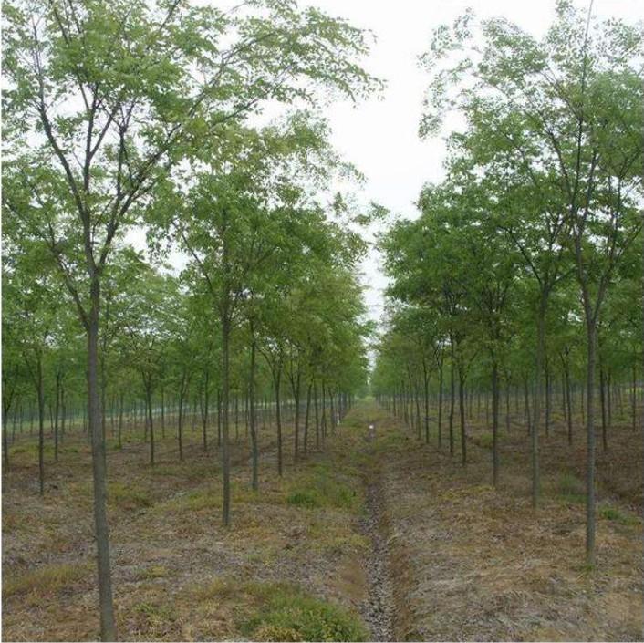 19公分榉树 榉树价格 红榉 红榉价格 榉树苗圃 乾坤苗圃