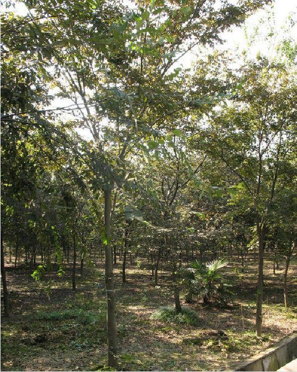 20公分榉树 榉树价格 红榉 红榉价格 榉树苗圃 乾坤苗圃