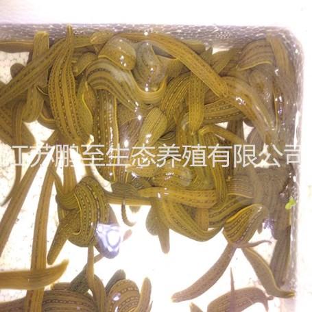 江苏宽体金线水蛭卵茧多少钱、宽体金线水蛭青年苗