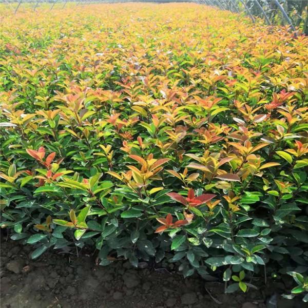 南京红叶石楠  40公分-3米红叶石楠球 红叶石楠价格 南京红叶石楠价格