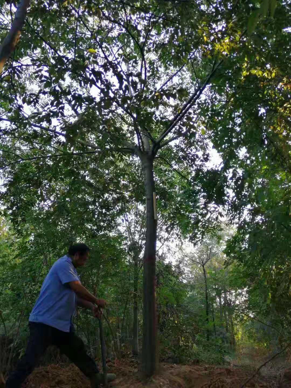 基地批发 15公分16公分17公分朴树价格