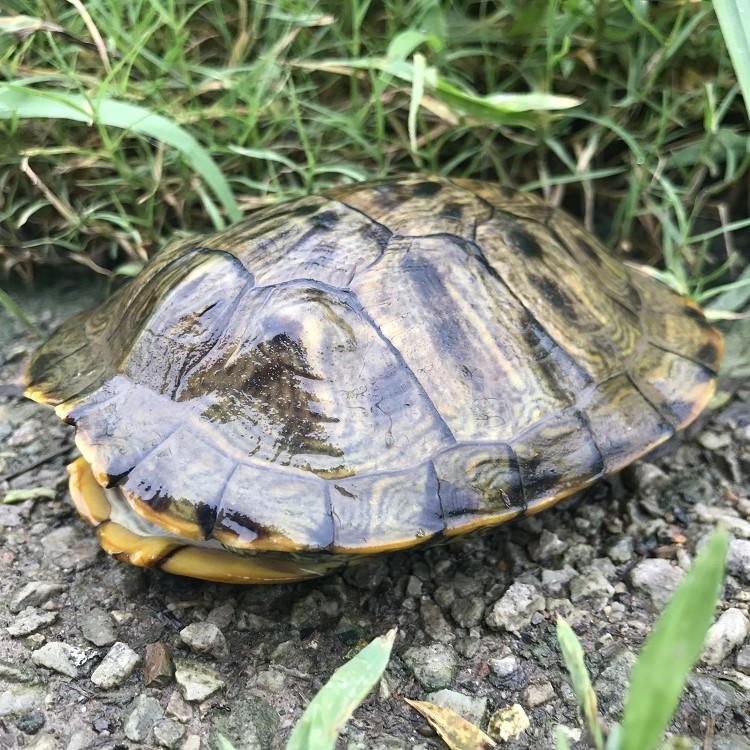 【绿利热销】生态养殖 观赏乌龟 外塘红耳龟  小乌龟外塘养殖