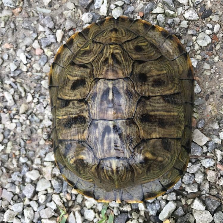 【绿利热销】外塘红耳龟 观赏乌龟 小乌龟外塘养殖