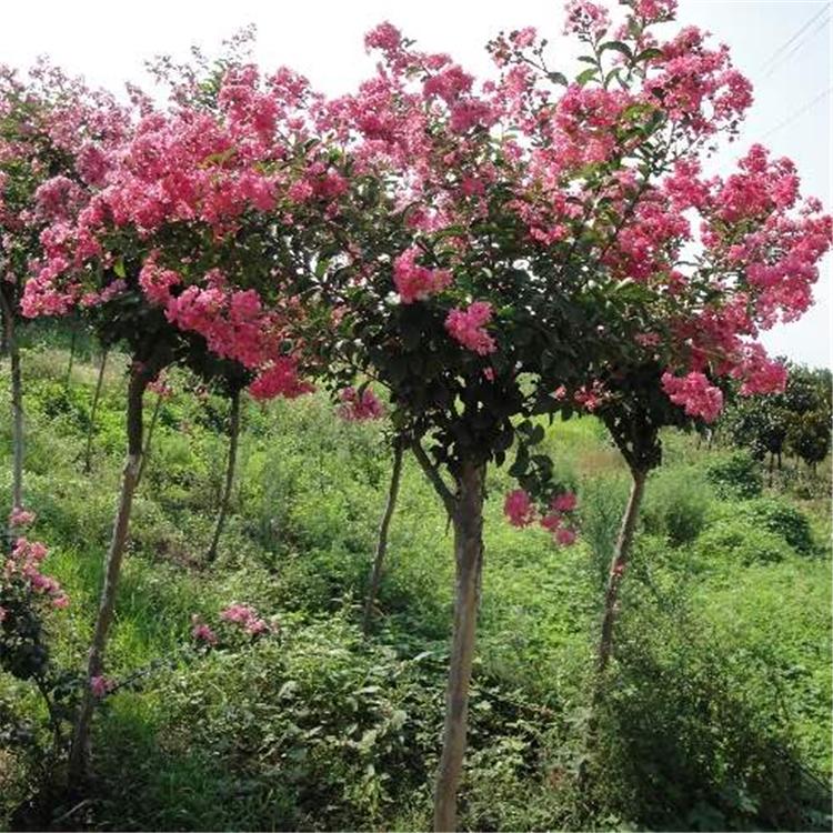 紫薇批发价格, 紫薇树 5-10公分紫薇 绿山园林基地 大量出售丛生紫薇