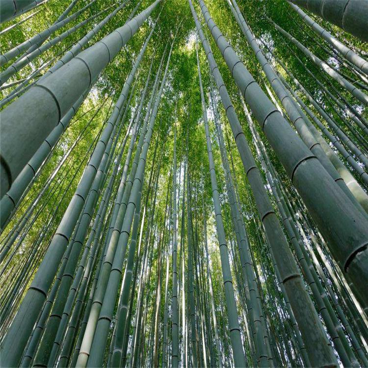 南京竹子价格,竹子批发销售 竹子种植基地