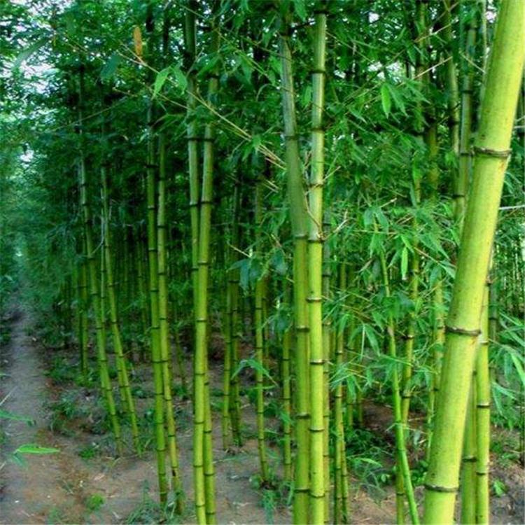 芳盛苗圃批发 竹子品种多样 园林绿化竹子苗 规格齐全