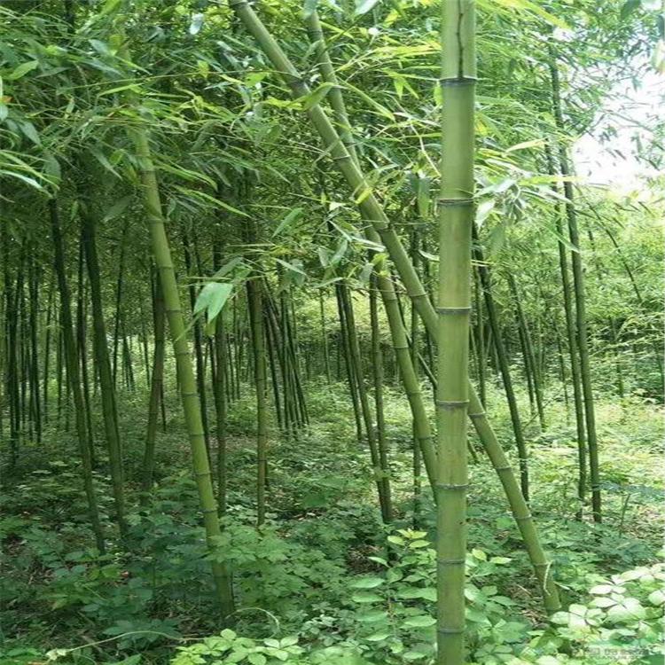 芳盛苗圃批发绿化竹 四季长青 绿化工程 庭院观赏竹子 斑竹绿篱竹子