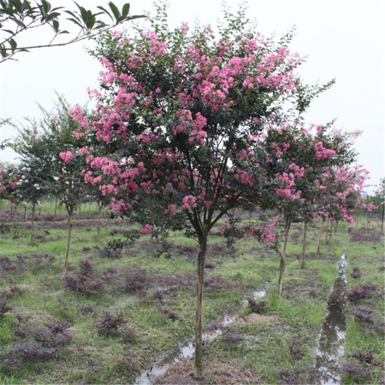 现货销售 紫薇树价格低 丛生紫薇 基地