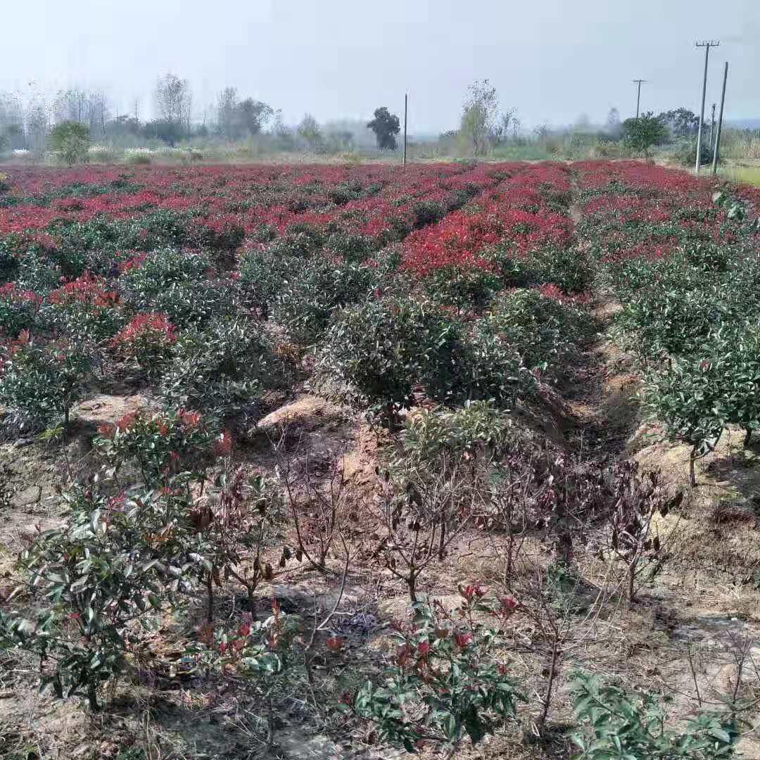 红叶石楠球 常绿灌木批发  宝林苗圃红叶石楠球基地知晓 价格优惠