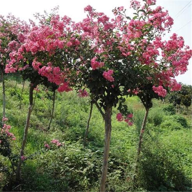 红花紫薇 绿山园林基地 紫薇价格  大量出售丛生紫薇 紫薇工程树苗