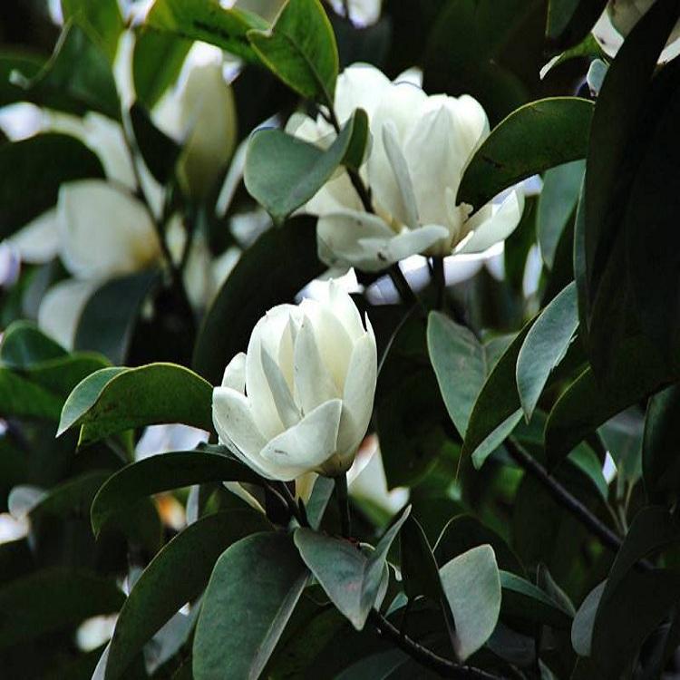 南京姜维基地大量供应乔木胸径4-18cm广玉兰 树型优美 量优价优