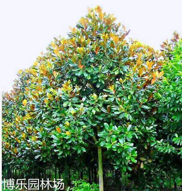 南京博乐园林常年供应优质广玉兰 广玉兰小苗 广玉兰绿化树 广玉兰价格 量足价优