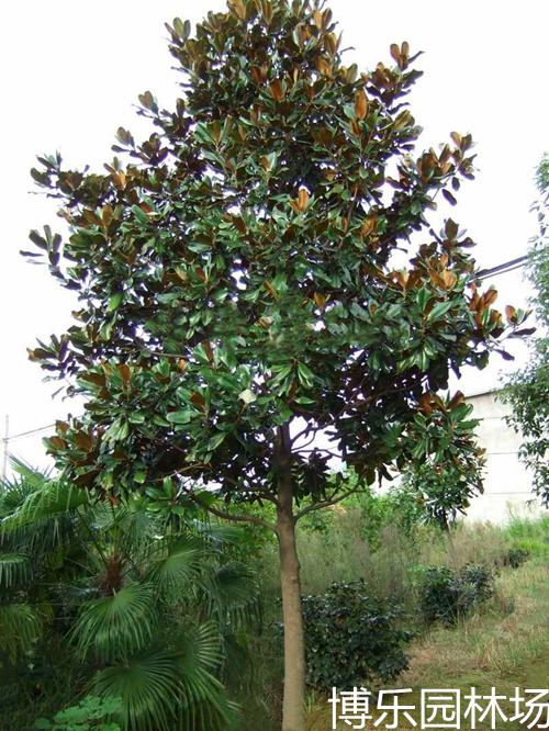 南京博乐园林大量供应优质广玉兰1.5-20公分米广玉兰树苗批发 全国直销