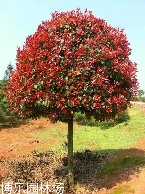 基地常年供应红叶石楠 高杆红叶石楠  红叶石楠小苗  红叶石楠价格 量大价优