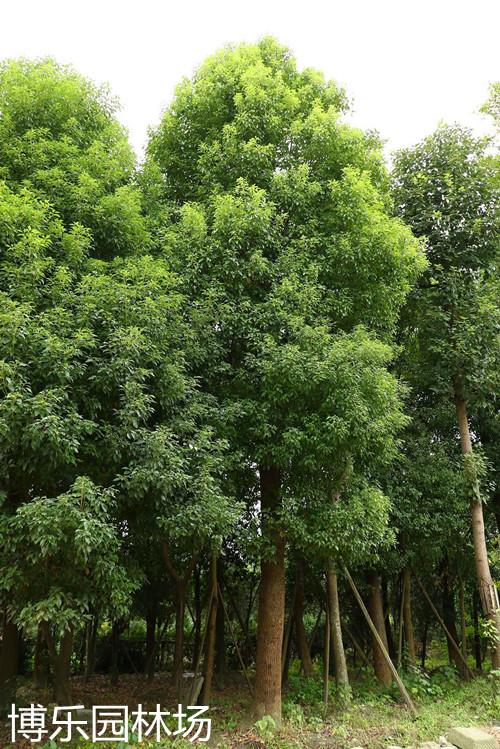 精选香樟 南京香樟 博乐香樟苗木种植培育价格批发
