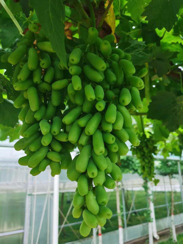 中兴温室农业 承接葡萄大棚 草莓种植大棚 专业团队建设 建造速度快